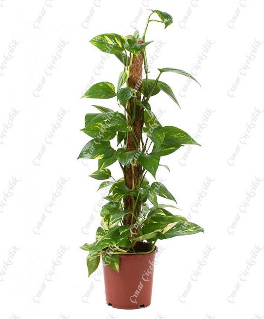 Potos Scindapus Sarmaşık Saksı Çiçeği C-SAK168