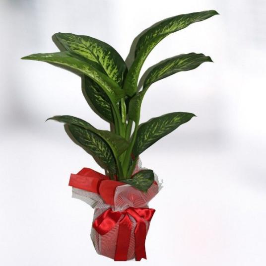 TROPİK Saksı Çiçeği