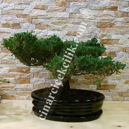 Yeşil Ardıç Bonsai