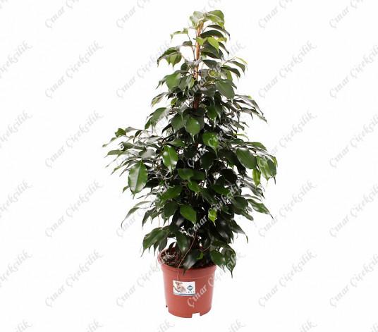 Yeşil Benjamin Saksı Çiçeği 50Cm C-SAK163