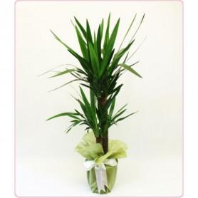 2 li Yukka Saksı Çiçeği