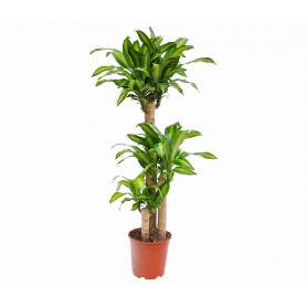3'lü Dracaena Massangeana Saksı Çiçeği C-SAK171
