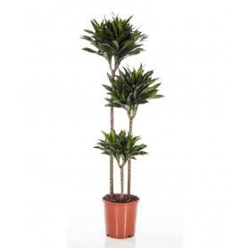 3'lu Janet Masengena Saksı Çiçeği C-SAK166