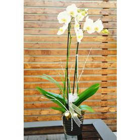 Çiftli Beyaz Love Orkide C-OR159