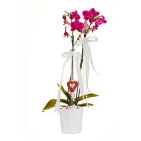 Çiftli Pembe Natürel Orkide