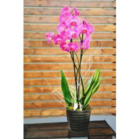 Çiftli Mor Romantik Orkide C-OR156