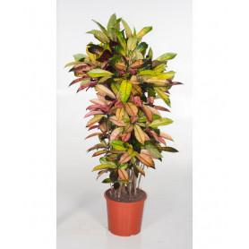 Büyük Anaç Kraton Saksı Çiçeği C-SAK153
