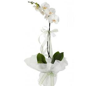 Tekli Beyaz Orkide Çiçeği C-OR148
