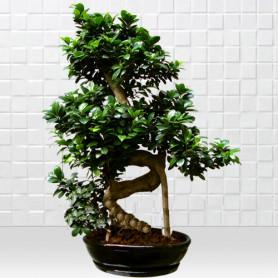 Büyük Bonsai Siyah Seramik