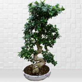 Beyaz Saksida Ginseng