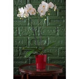 Beyaz Düş İkili Orkide C-OR154