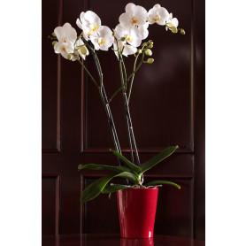 Beyaz İkili Orkide Çiçeği