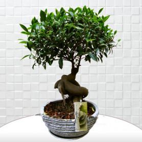 Beyaz Saksı Ficus Bonsai