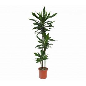Drachenbaum Janet 3lu Saksı Çiçeği