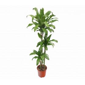 Drachenbaum Santa Rosa Saksı Çiçeği C-SAK170