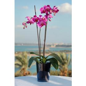 İkili Pembe Orkide C-OR151