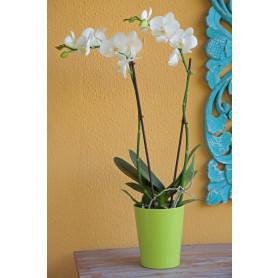 İkili Beyaz Orkide Çiçeği C-OR152