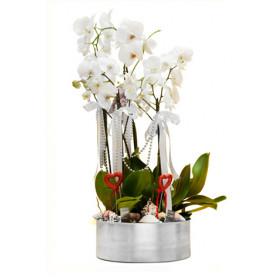 Beyaz 5 Köklü Orkide Aranjmanı C-OR105