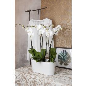 Dört Köklü Beyaz, Orkide C-OR111