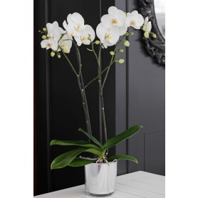 Beyaz Orkide Siparişi, Gönder Çift Dal