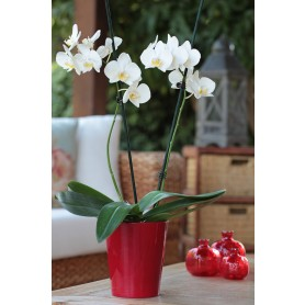 2'li Kırmızı Vazo Beyaz Orkide C-OR110