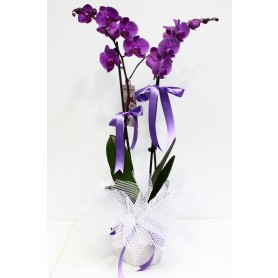Pembe İkili Orkide C-OR115