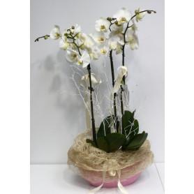 Üç Kökluü Beyaz Orkide C-OR123