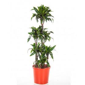 6'lı Yeşil Drecina C-SAK149
