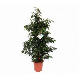 Yeşil Benjamin Saksı Çiçeği C-SAK161